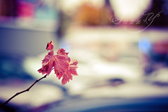 Anything simple always interests me~ (Pink Pixel Photography (f.k.a. Sunny)) Tags: leaves bokeh canonef50mmf18 simplicity canoneos400d happyscarletsunday wwwpinkpixelat pinkpixelphotography madethisatagaragewheniwaitedformycar itisfreezingoverherealreadysigh