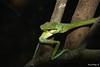Destino final (Manuel Mejia Photography) Tags: amazon snake frog colubridae snakeeating hylidae leptophisahaetulla hypsiboaspellucens manuelmejia