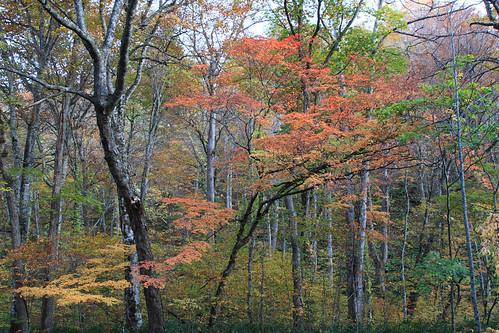Autumn Colors at Oirase (3) Autumn colored trees