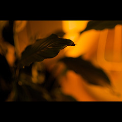 (Marcin Sowa) Tags: lighting flower lens aperture mood dof bokeh 85mm sharpen nikkor krakw wideopen d300 feaf nikor krakoff