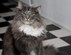 Attitude (ZoomLoes) Tags: white black cat december attitude sven 2009 norwegianforestcat ©loesvandezande