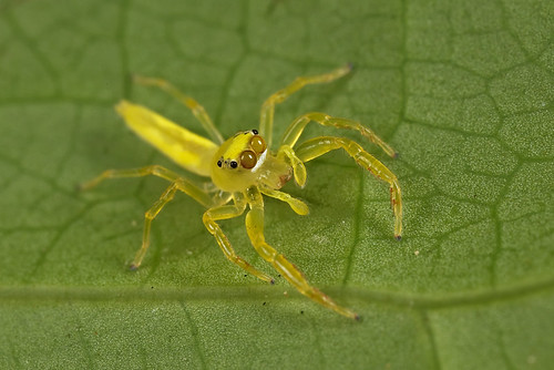 Cute little Yellow Spider