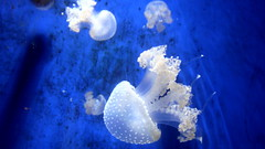 medusae in white (Mgl+Cstblnc) Tags: blue wallpaper beautiful animals background best biology