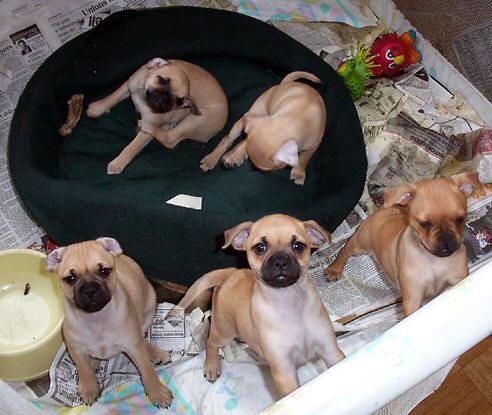 fotos de pinscher cachorro