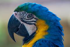 Blue-and-yellow Macaw (Peter Nijenhuis) Tags: bali indonesia araararauna 500d blueandyellowmacaw ef70300mmf456isusm tamanburungbalibirdpark peternijenhuis