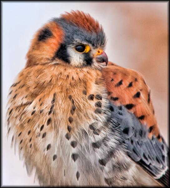Kestrel Portrait