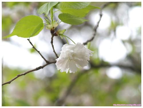 Cherry blossom 100427 #02