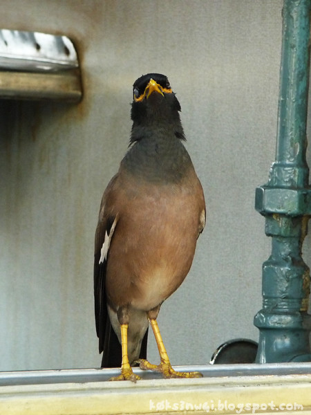 Kangra Rail Mynah Stretch