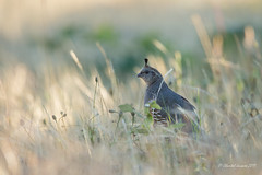 California Quail taking refuge (Chantal Jacques Photography) Tags: californiaquail bokeh wildandfree refuge depthoffield metchosinbc