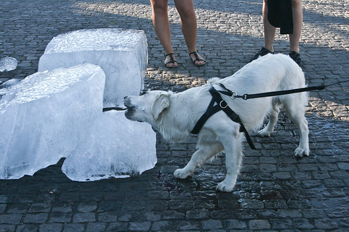 Dog eating ice in june
