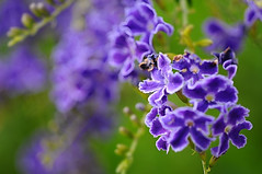 Duranta (Skyflower) in July (naruo0720) Tags: plant flower macro nature closeup nikon soe d300 duranta supershot skyflower fantasticflower abigfave  ultimateshot theunforgettablepictures