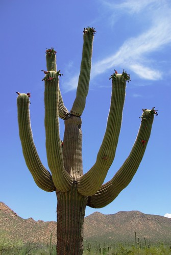 arizona cactus desert tucson saguaro