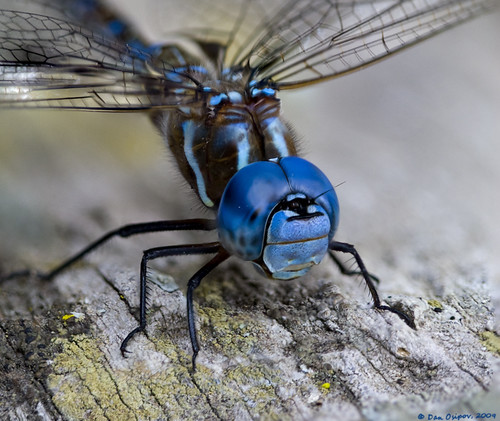 Blue-Eyed Darner