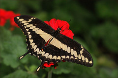 Giant Swallowtail Butterfly (Foto Martien (thanks for over 2.000.000 views)) Tags: france macro beautiful closeup butterfly insect wings frankreich insects exotic papillon alsace page frankrijk makro mariposa swallowtail schmetterling vlinder koninginnepage elsas giantswallowtail orangedog elzas butterflygarden hautrhin papiliocresphontes hunawihr vlindertuin jardindespapillons zwaluwstaart sonyalpha350 sonya350 martienuiterweerd martienarnhem minoltamacro100mm28 reuzenzwaluwstaart