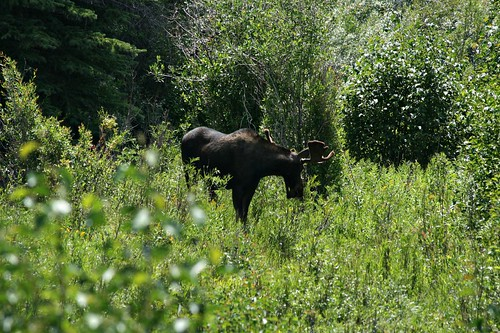 A moose, pic shot from a road bridge using the zoom lens.  Moose Junction turn-off, Grand Teton National Park.