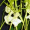 Brassia Spider Orchid