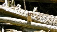 Posing Weasel (Upstate Dave) Tags: wildlife weasel yellowstone sodabuttecreek yellowstonewildlife