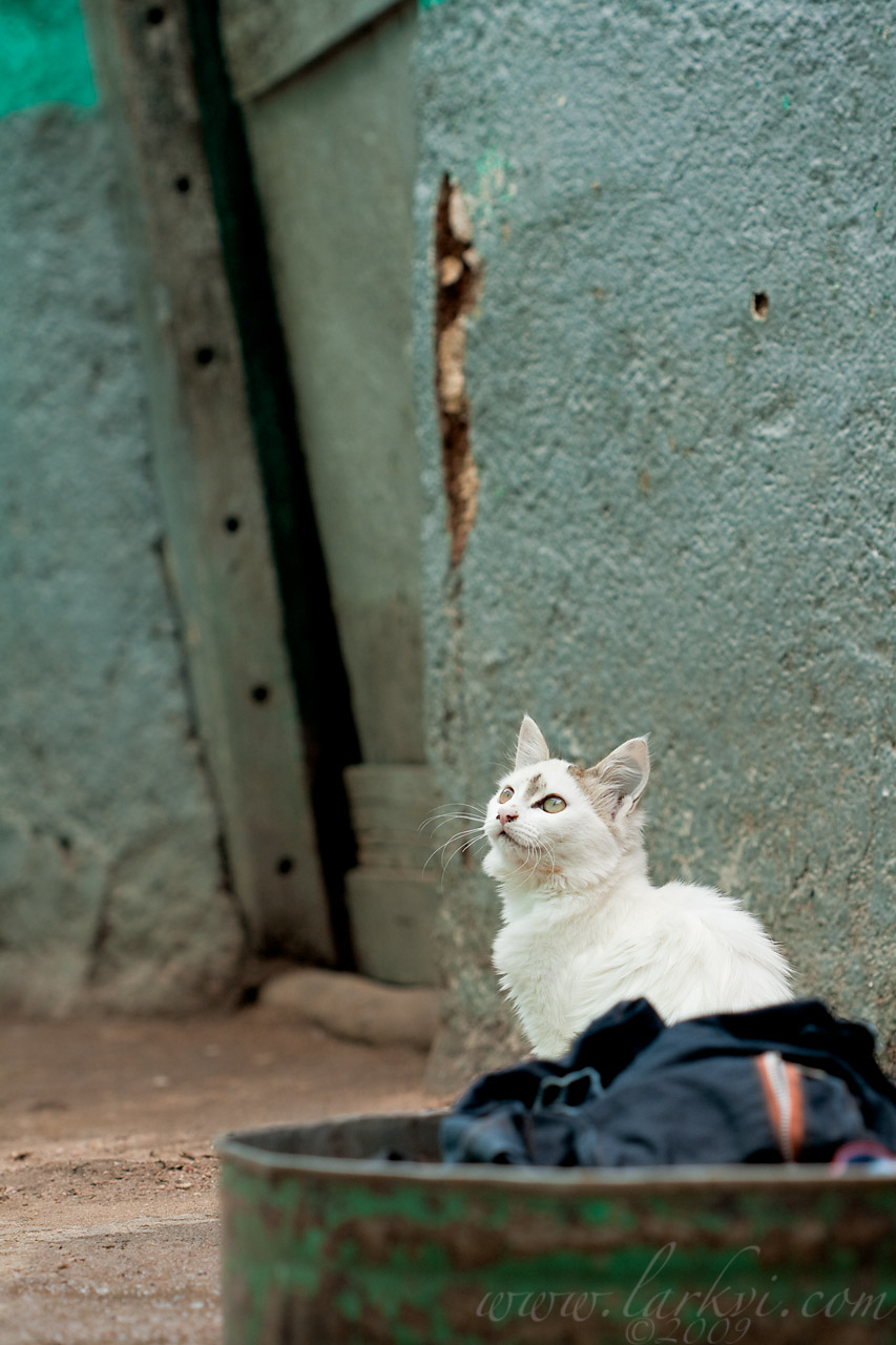 Cat #5a, Harar, Ethiopia, July 2009