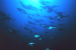 bluefin_tuna_NOAA_250x