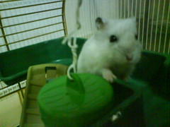 Izzit time for my supper...im hungry (MilkyShu) Tags: animal hamster hamsters