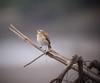Furnarius minor1 (barbetboy) Tags: fbwnewbird fbwadded furnariusminor