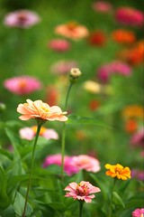 zinnia patch (kmrphotography) Tags: summer plant flower nature outdoors blossoms august blooms zinnia 2009