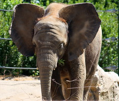 Scotty's doing fine. . . (John P.C.) Tags: park elephant nature animal canon zoo photo african kentucky ky pic ear louisville scotty