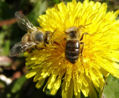 abejas 3
