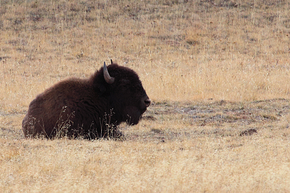 100909_buffalo02