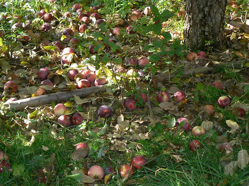 Tons of apples on the ground