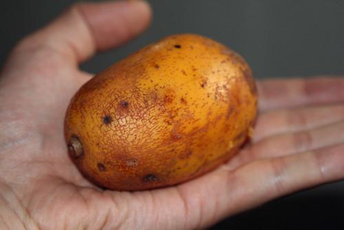 Spondias mombin (Anacardiaceae)