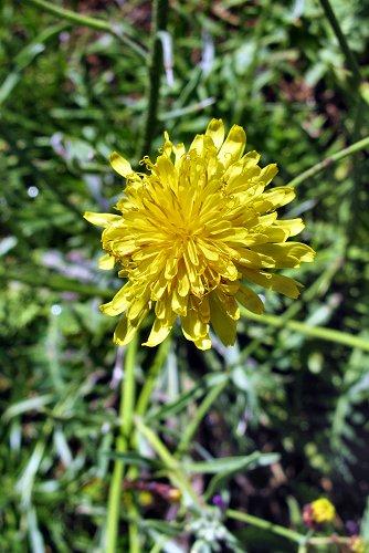 Sonchus ustulatus ssp. ustulatus (rq) - 01