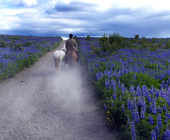 On the way in the countryside last spring (Anna.Andres) Tags: anna horse landscape fun iceland wonderland brava sland hestar coth imagepoetry soulscapes specialpicture worldbest hnta slenskihesturinn fila goldstaraward goldenart photographymypassion yourwonderland magicunicornverybest selectbestexcellence magicunicornmasterpiece sailsevenseas theadmirergroup imagofabulae sbfmasterpiece ilfilodarianna