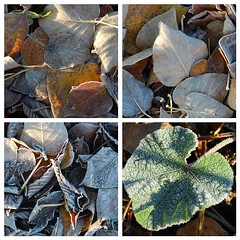 FIRST FLICKR FROST (I Flickr 4 JOY) Tags: fdsflickrtoys deadleaves fallenleaves frostyleaves hollyhockleaf frostyhollyhockleaf
