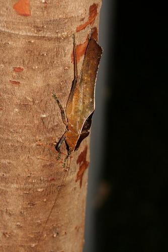 ? Tettigoniidae