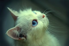 (UAE.eyes) Tags: cat canon waiting flickr estrellas corny 2009 whitecat wishing hoping uaeeyes
