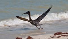 Take Flight Or Fright (Gary Denness) Tags: beach delete10 delete5 delete2 delete6 delete7 yucatan delete3 delete delete4 deletedbydeletemeuncensored