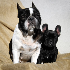 . (susilalala) Tags: frenchbulldog nuka conchi bulldogfrances