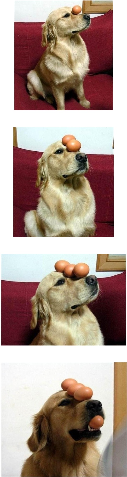 dog-balancing-eggs