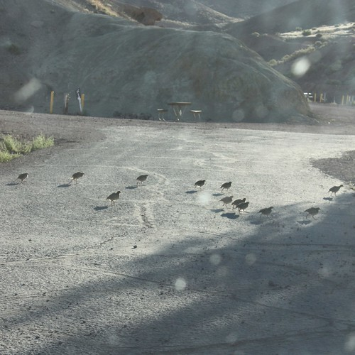 Chukar family at Calico Campground