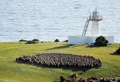 Work_Wool industry photo shoot_DSC_0910_6_Howard_D (renrut01) Tags: awn australian wool network kangaroo island sheep cape stalbans mob coast scenic