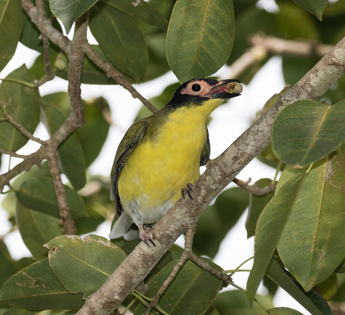 Australasian Yellow Figbird (Sphecotheres vieilloti flaviventris) (male) (23 centimetres).02