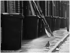 Streetlife. ((c) MAMF photography.) Tags: art arty britain blackandwhite blackwhite bw biancoenero candid dark d7100 england enblancoynegro flickrcom flickr suburbia google googleimages gb greatbritain greatphotographers greatphoto bird blancoynegro blanco blancoenero holbeck inbiancoenero image images leeds mamfphotography mamf monochrome nikon noiretblanc noir nikond7100 north negro northernengland onthestreet photography photo pretoebranco road schwarzundweis schwarz uk unitedkingdom upnorth westyorkshire yorkshire zwartenwit zwartwit zwart pigeon