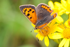 Small-copper_1 (skully_bob) Tags: butterfly insect macro devilsdyke