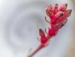 IMG_1214 (kndynt2099) Tags: kangaroopaws flowers anigozanthos