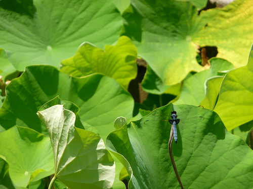 Dragonfly on Water Lilies