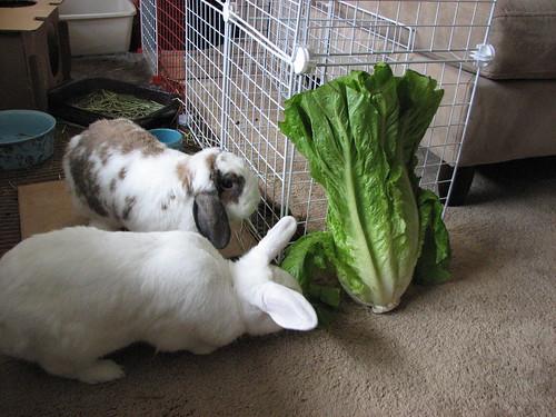 buns investigate huge lettuce head