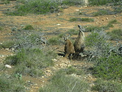 Two roos