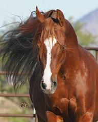 Magnetiek - Head On (Grand_Lady) Tags: for sale arabian stallion
