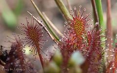 Drosera intermedia  - Rocío del Sol - Planta Insectívora - Carnivorous plant